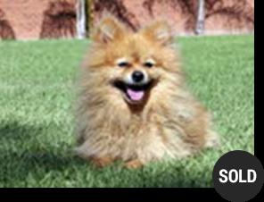 Pomeranian Ali