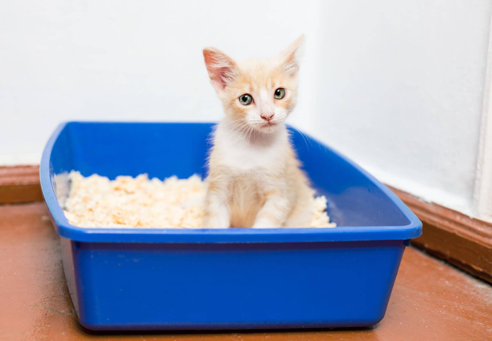 Litter Train Kittens
