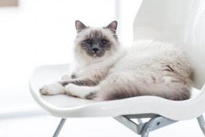 Cat Breeds In Australia