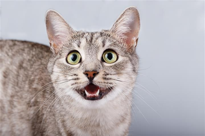 Dental disease in cats