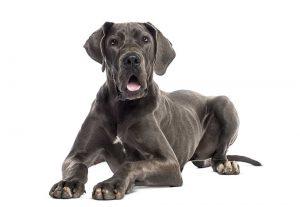 calmest dog breeds