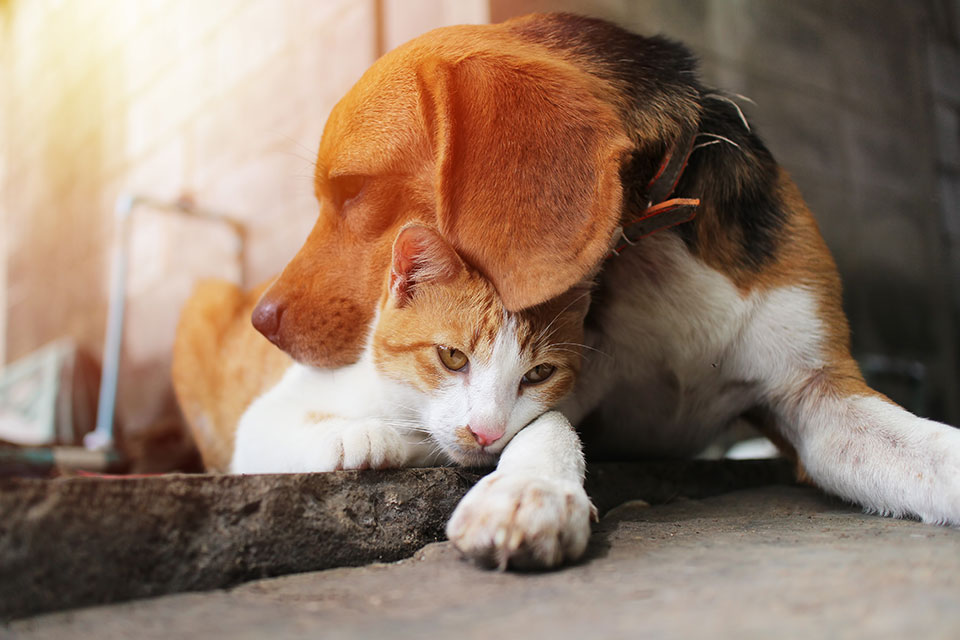 cat loving dog breeds